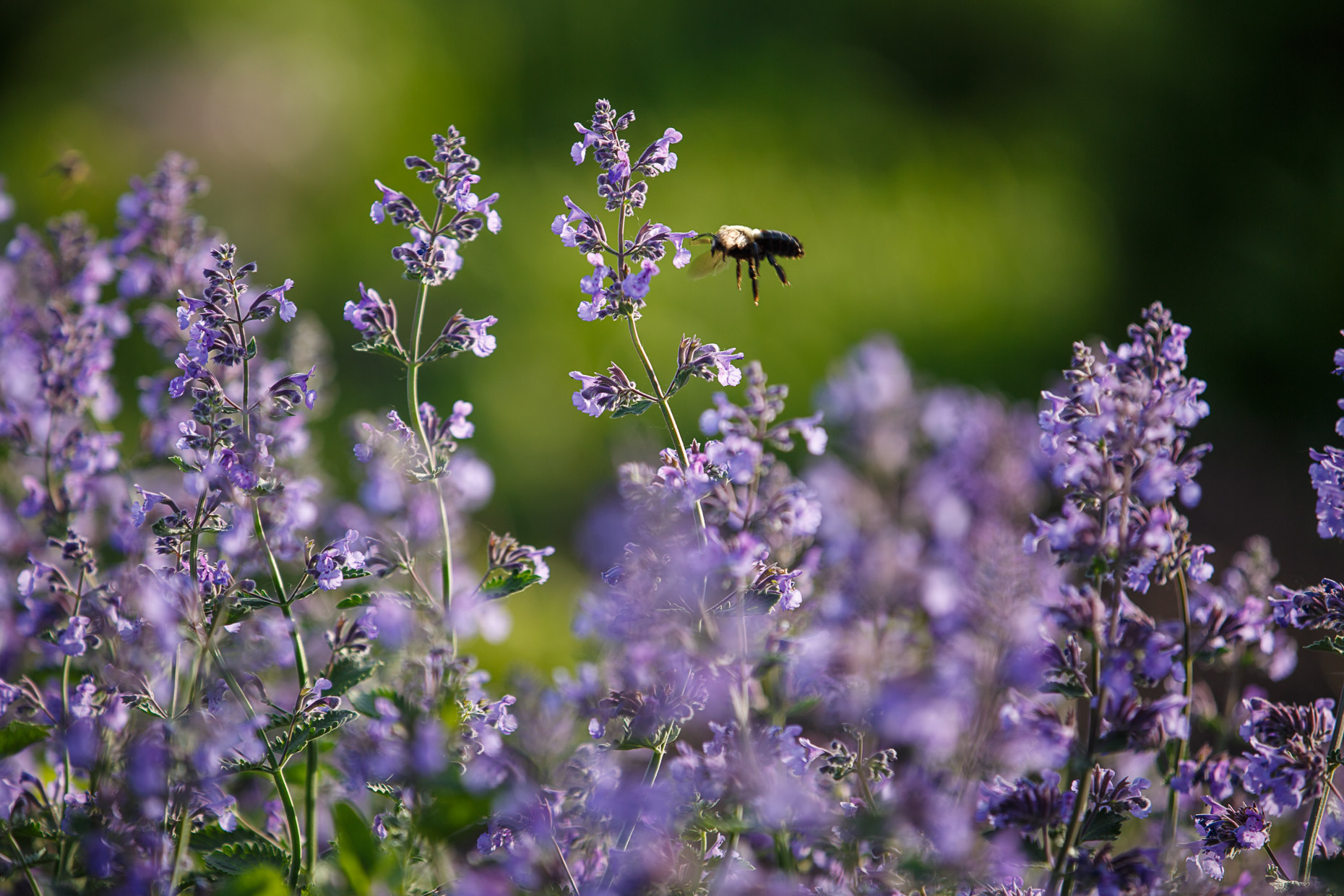closeup of a catmint plant and pollinator in Alice