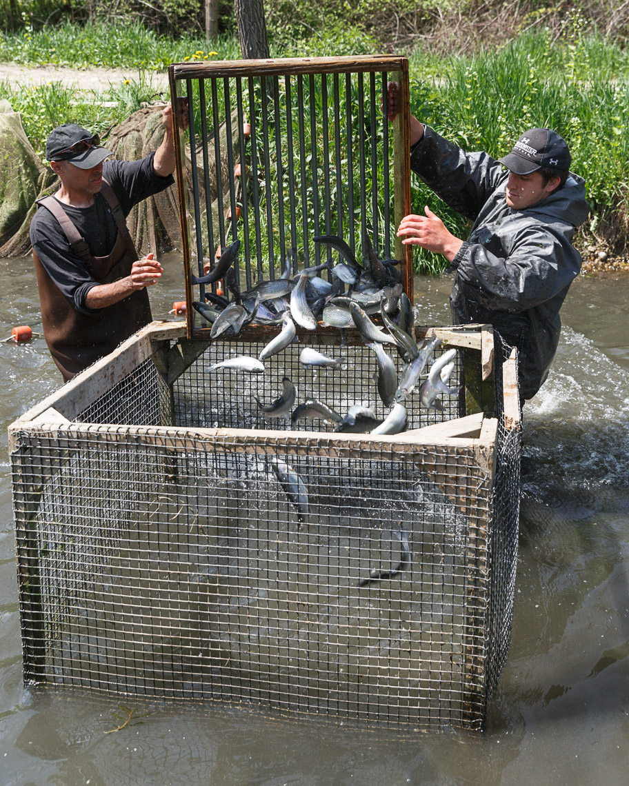 Workers collect large trout from a pond for transfer into the fishing pond at Rushing Waters Trout Fishery in Palmyra, Wisconsin.