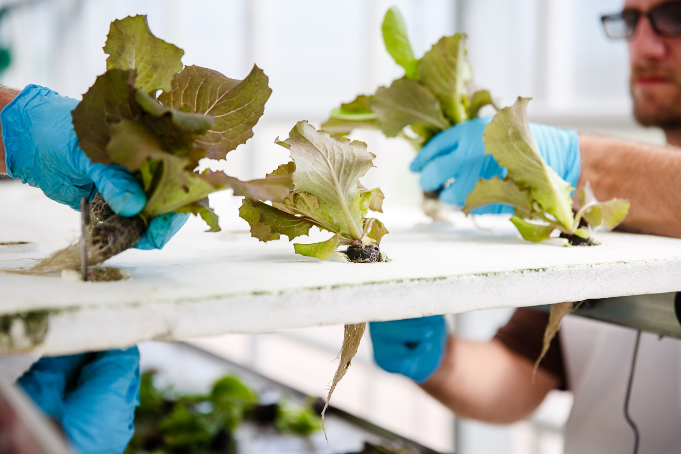 Hydroponic greens grow in a giant greenhouse at Superior Fresh based in Hixton, WI.