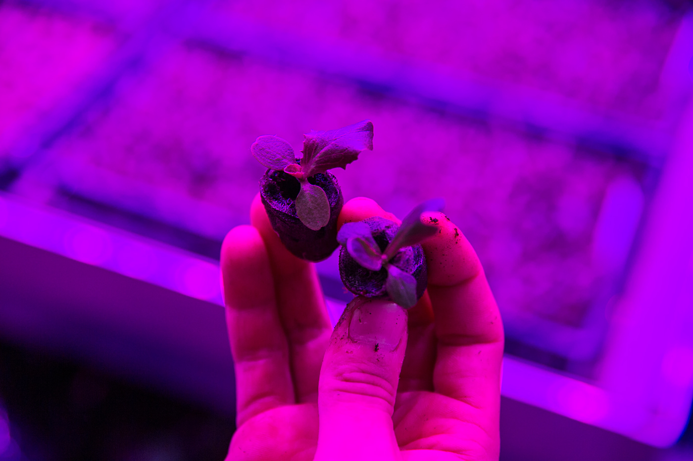 Seedlings are started under artificial light before moving into the hydroponics greenhouse at Superior Fresh based in Hixton, WI.